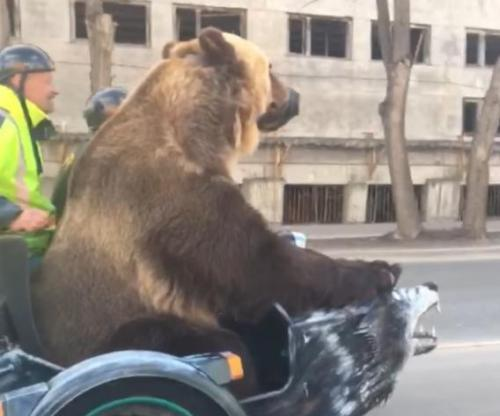 Massive-bear-shocks-drivers-with-casual-motorcycle-ride.jpg