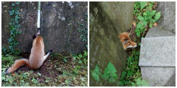 RSPCA-rescues-fox-from-grave-mistake-in-cemetery.jpg