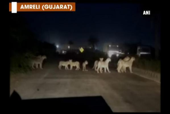 Traffic-stops-on-highway-for-crossing-pride-of-lions.jpg