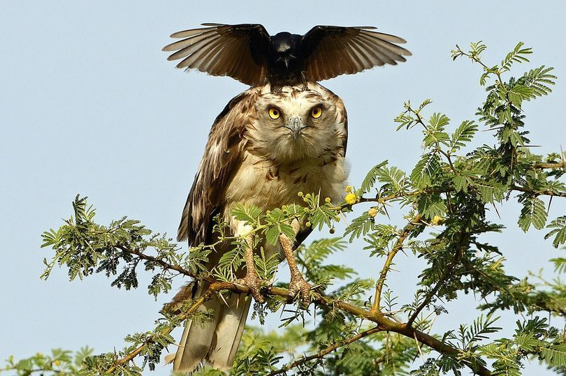 eagle annoyed by crow1.jpg