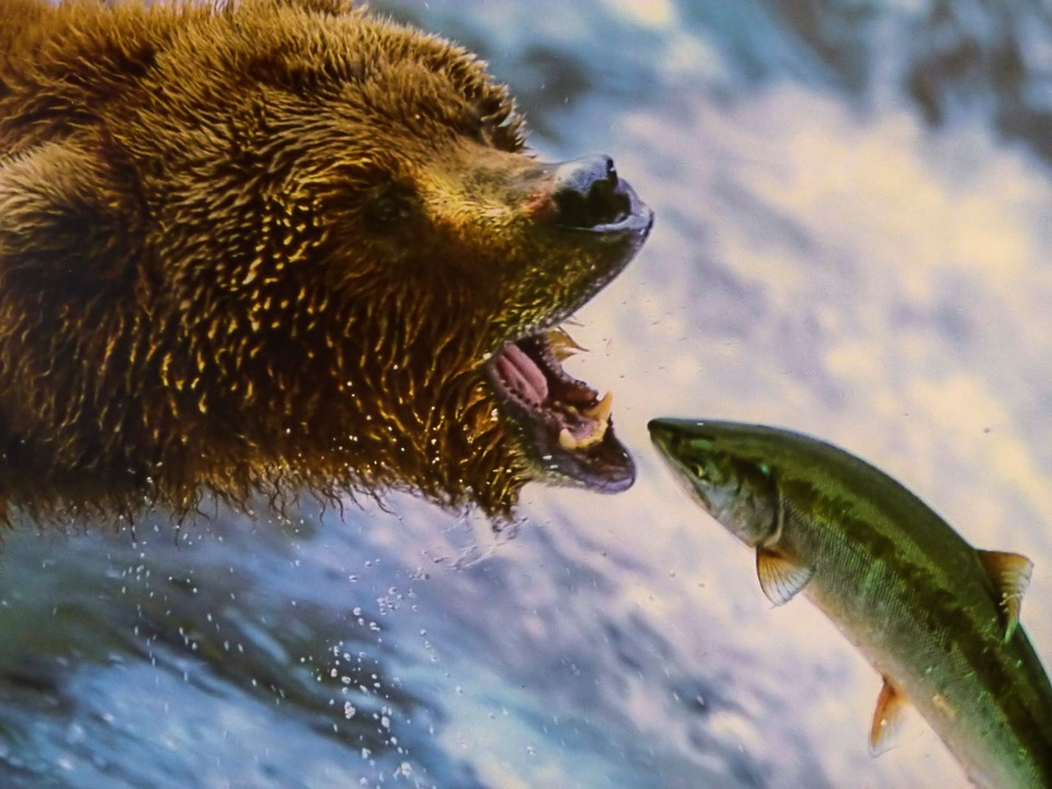 grizzly-221558_960_720.jpg