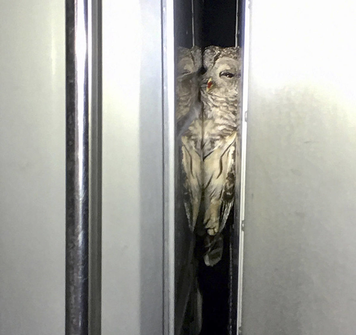 owl stuck between truck cab and trailer1.jpg