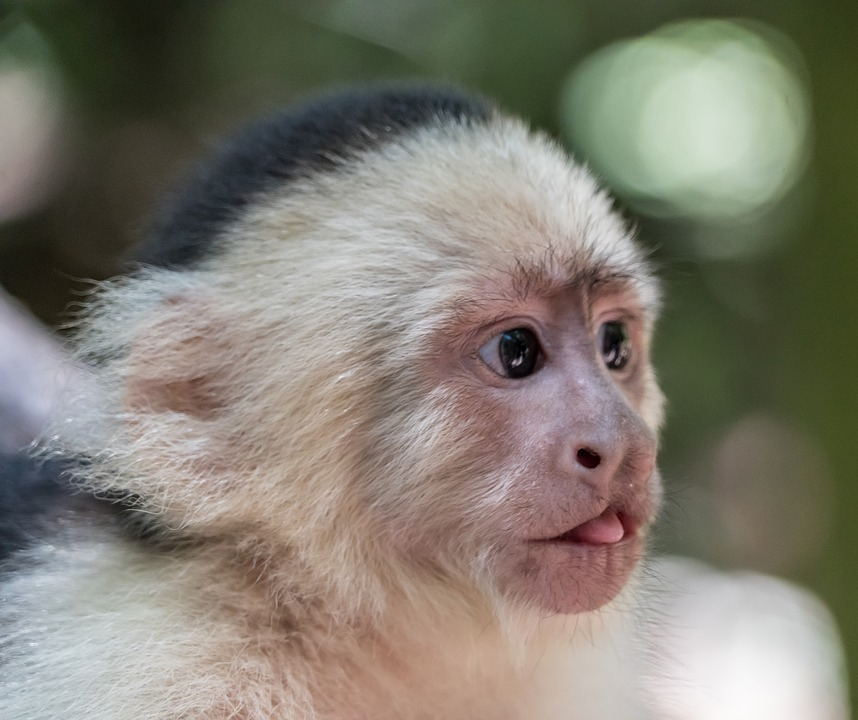 white-headed-capuchin.jpg