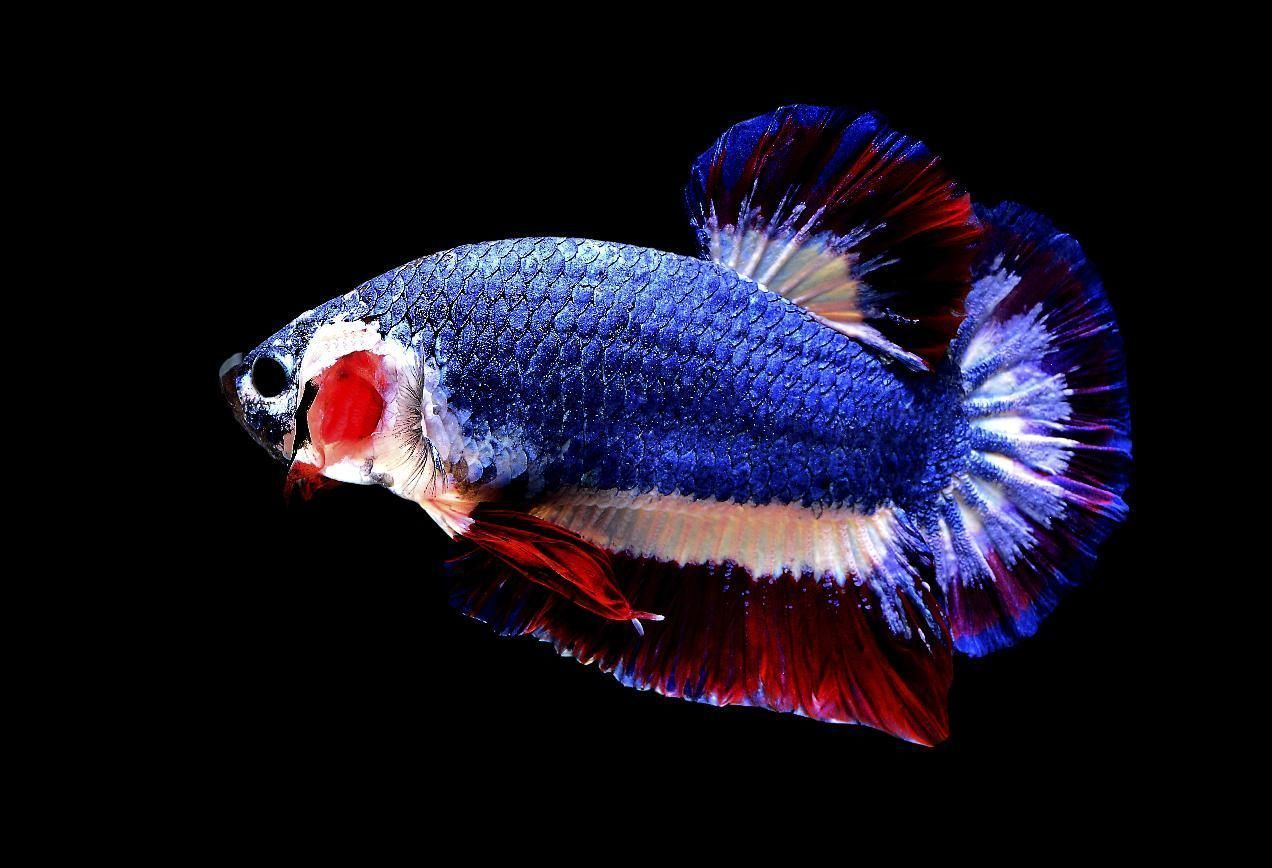 Betta fish with Thai flag colors1.jpg