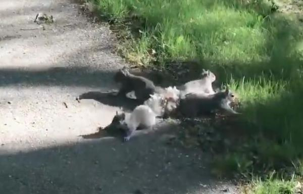 Man-helped-rescue-four-squirrels-with-tails-tangled-together-in-Maine.jpg
