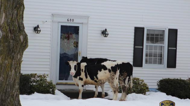 escaping cows tried to sell dairy products.jpg