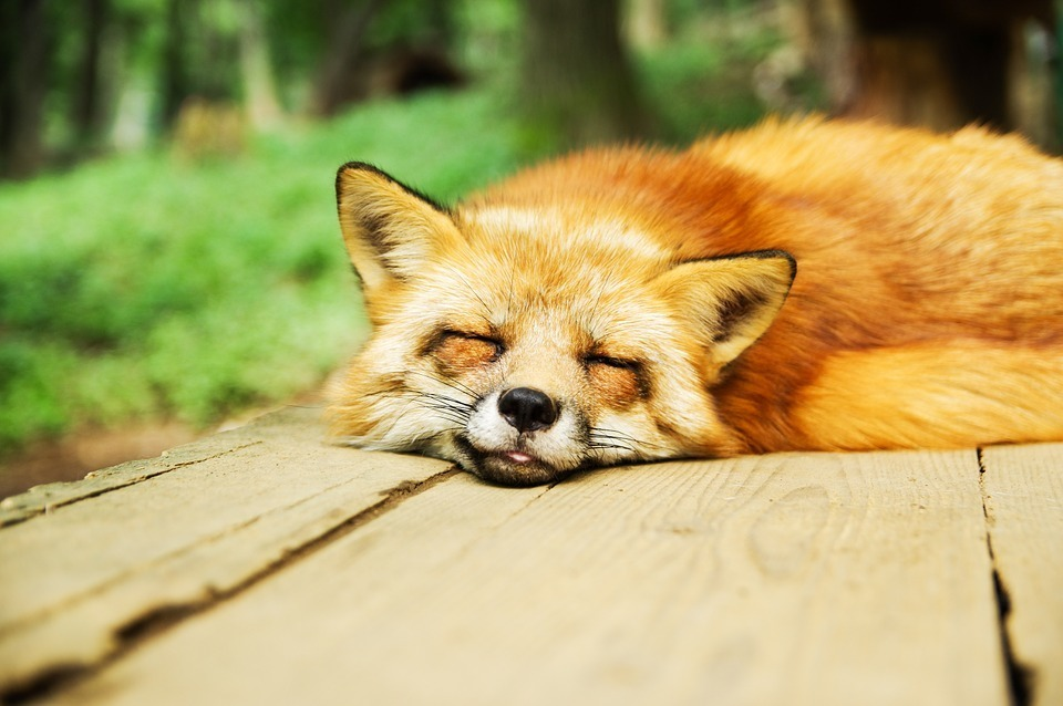 fox-sleeping.jpg